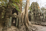 Ta Prohm Temple  Being Destroyed by Jungle Growth  Angkor  UNESCO World Heritage Site  Cambodia