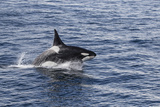 Adult Bull Type a Killer Whale (Orcinus Orca) Power Lunging in the Gerlache Strait  Antarctica