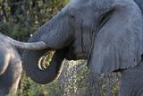 African Elephant (Loxodonta Africana)  Khwai Concession  Okavango Delta  Botswana  Africa