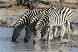 Burchell's Zebras (Equus Burchelli)  Khwai Concession  Okavango Delta  Botswana  Africa