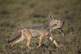 Black-Backed Jackal (Silver-Backed Jackal) (Canis Mesomelas) Carrying Half a Thomson's Gazelle Calf