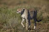 Cheetah (Acinonyx Jubatus)  Ngorongoro Conservation Area  Serengeti  Tanzania  East Africa  Africa