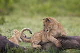 Lion (Panthera Leo) Cubs Playing  Ngorongoro Crater  Tanzania  East Africa  Africa