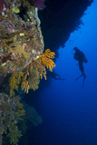 Gorgonian Sea Fans (Subergorgia Mollis) with Diver  Queensland  Australia  Pacific