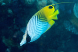 Thread Fin Butterflyfish (Chaetodon Auriga)  Usually Seen in Pairs  Queensland  Australia  Pacific