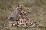 Cheetah (Acinonyx Jubatus) Mother and Cub  Serengeti National Park  Tanzania  East Africa  Africa