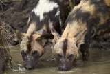 Two African Wild Dogs (African Hunting Dog) (Cape Hunting Dog) (Lycaon Pictus) Drinking