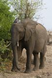African Elephant (Loxodonta Africana)  Chobe National Park  Botswana  Africa