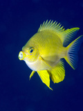 Golden Damselfish (Amblyglyphidodon Aureus) a Zoo Plankton Feeding Coral Reef Fish