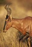 Red Hartebeest (Alcelaphus Buselaphus)
