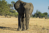 African Bush Elephant (Loxodonta Africana)  Liwonde National Park  Malawi  Africa