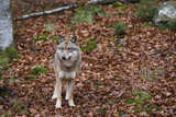 Gray Wolf (Canis Lupus)  Bavarian Forest National Park  Bavaria  Germany  Europe