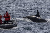 Adult Bull Type a Killer Whale (Orcinus Orca) Surfacing Near Researchers in the Gerlache Strait
