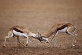 Two Springbok (Antidorcas Marsupialis) Bucks Fighting