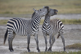 Two Common Zebra (Plains Zebra) (Burchell's Zebra) (Equus Burchelli) Sparring