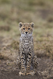 Cheetah (Acinonyx Jubatus) Cub  Serengeti National Park  Tanzania  East Africa  Africa