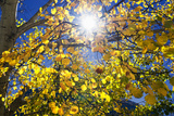 Sun Through Autumn Leaves  Switzerland  Europe