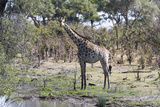 Southern Giraffe (Giraffa Camelopardalis)  Khwai Concession  Okavango Delta  Botswana  Africa