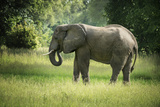 African Elephant (Loxodonta)  South Luangwa National Park  Zambia  Africa