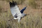 Southern Pale Chanting Goshawk (Melierax Canorus) Hunting