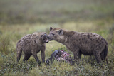 Spotted Hyena (Crocuta Crocuta) at a Blue Wildebeest (Brindled Gnu) Carcass