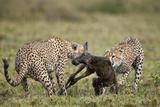 Two Male Cheetah (Acinonyx Jubatus) Killing a New Born Blue Wildebeest (Brindled Gnu) Calf