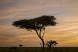 Acacia Tree and Clouds at Dawn