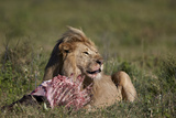 Lion (Panthera Leo) at a Wildebeest Carcass