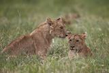 Lion (Panthera Leo) Cubs  Ngorongoro Crater  Tanzania  East Africa  Africa