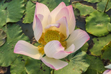 Lotus Flower (Nelumbo Nucifera)  Near the Village of Kampong Tralach  Cambodia  Indochina