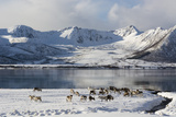 Reindeer (Rangifer Tarandus)  Near Fornes  Vesteralen Islands  Arctic  Norway  Scandinavia