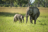 African Elephant (Loxodonta) Mother and Calf  South Luangwa National Park  Zambia  Africa
