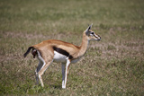 Thomson's Gazelle (Gazella Thomsonii) Female Giving Birth