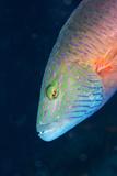 Cheek-Lined Wrasse (Oxycheilinus Digramma)  Matangi Island  Vanua Levu  Fiji  Pacific