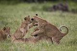 Lion (Panthera Leo) Cubs Playing  Ngorongoro Crater  Tanzania  East Africa  Africa