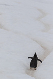 Gentoo Penguin (Pygoscelis Papua) Climbing Penguin Highway on Cuverville Island  Antarctica