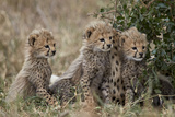 Three Cheetah (Acinonyx Jubatus) Cubs About a Month Old