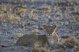 Lion (Panthera Leo)  Immature  Kgalagadi Transfrontier Park
