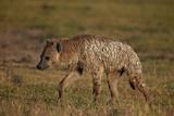 Spotted Hyena (Spotted Hyaena) (Crocuta Crocuta)  Ngorongoro Crater  Tanzania  East Africa  Africa