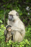 Mother and Baby Yellow Baboon (Papio Cynocephalus)  South Luangwa National Park  Zambia  Africa