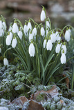 Snowdrops in Frost  Cotswolds  Gloucestershire  England  United Kingdom  Europe