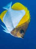 Pyramid Butterflyfish (Hemiaurichthys Polylepis)  Queensland  Australia  Pacific