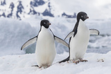 Adelie Penguin (Pygoscelis Adeliae) Pair  at Brown Bluff  Antarctica  Southern Ocean  Polar Regions