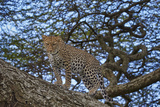 Leopard (Panthera Pardus) in a Tree