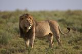 Lion (Panthera Leo)  Serengeti National Park  Tanzania  East Africa  Africa