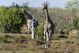 Southern Giraffes (Giraffa Camelopardalis)  Khwai Concession  Okavango Delta  Botswana  Africa
