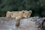 Lion (Panthera Leo) Cub on a Downed Tree Trunk  Ngorongoro Crater  Tanzania  East Africa  Africa