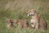Lion (Panthera Leo) Female and Three Cubs  Ngorongoro Crater  Tanzania  East Africa  Africa