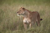 Lion (Panthera Leo) Female (Lioness) in Tall Grass