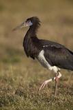 Abdim's Stork (Ciconia Abdimii)  Ngorongoro Crater  Tanzania  East Africa  Africa